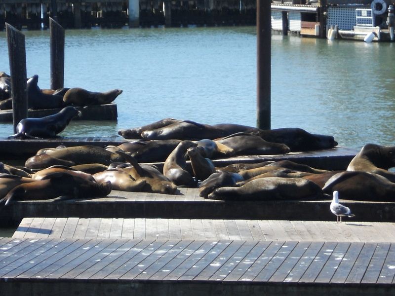 Sea Lions of the San Francisco Bay